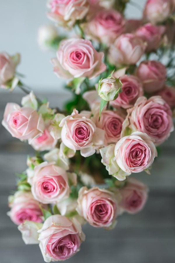 vrtnica-mnogocvetna-roza