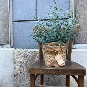 sobne-rastline-evkaliptus-na-stolu