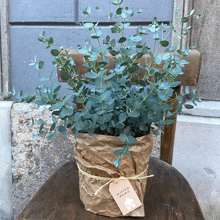 sobne-rastline-evkaliptus-spredaj
