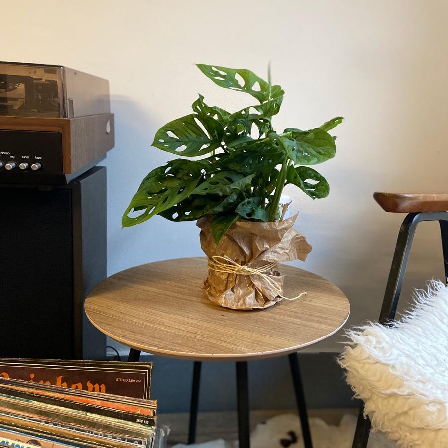 sobne-rastline-monstera-na-mizi