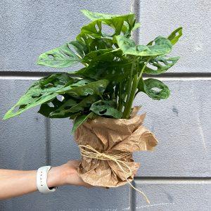 sobne-rastline-monstera-v-roki