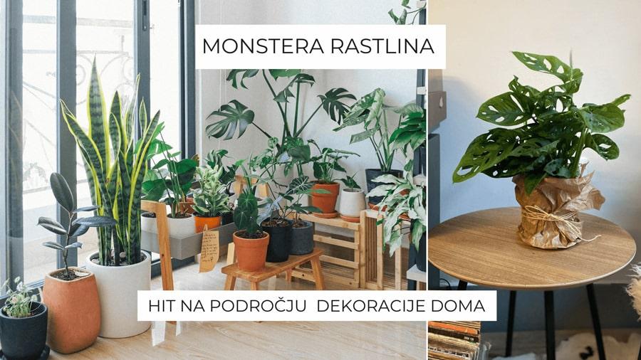 monstera-rastlina