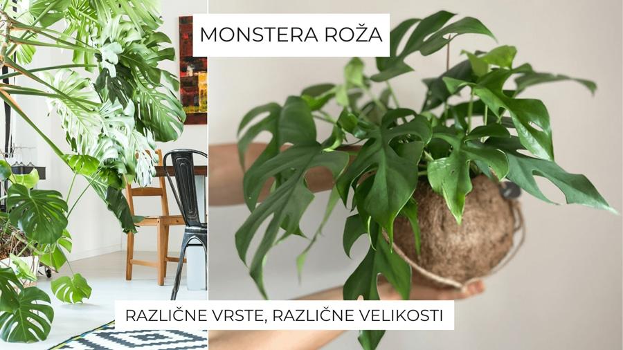 monstera-roza
