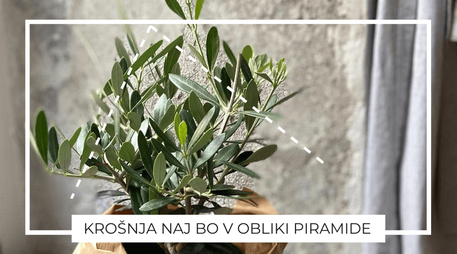 Oljka bonsai oblika