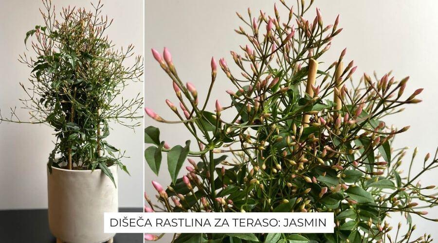 jasmin-za-teraso