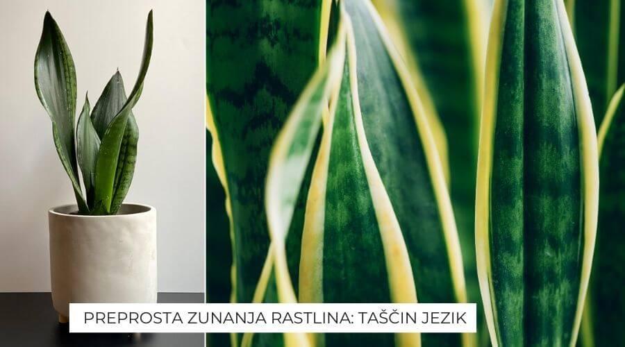 rastlina-tascin-jezik