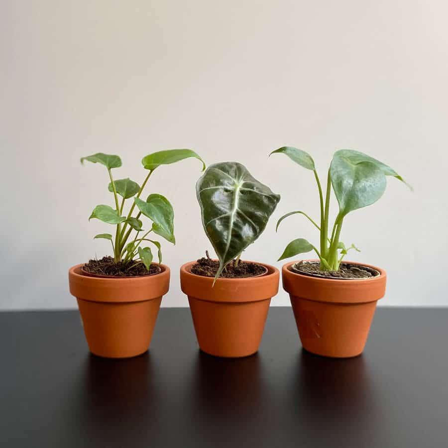 mini-sobne-rastline