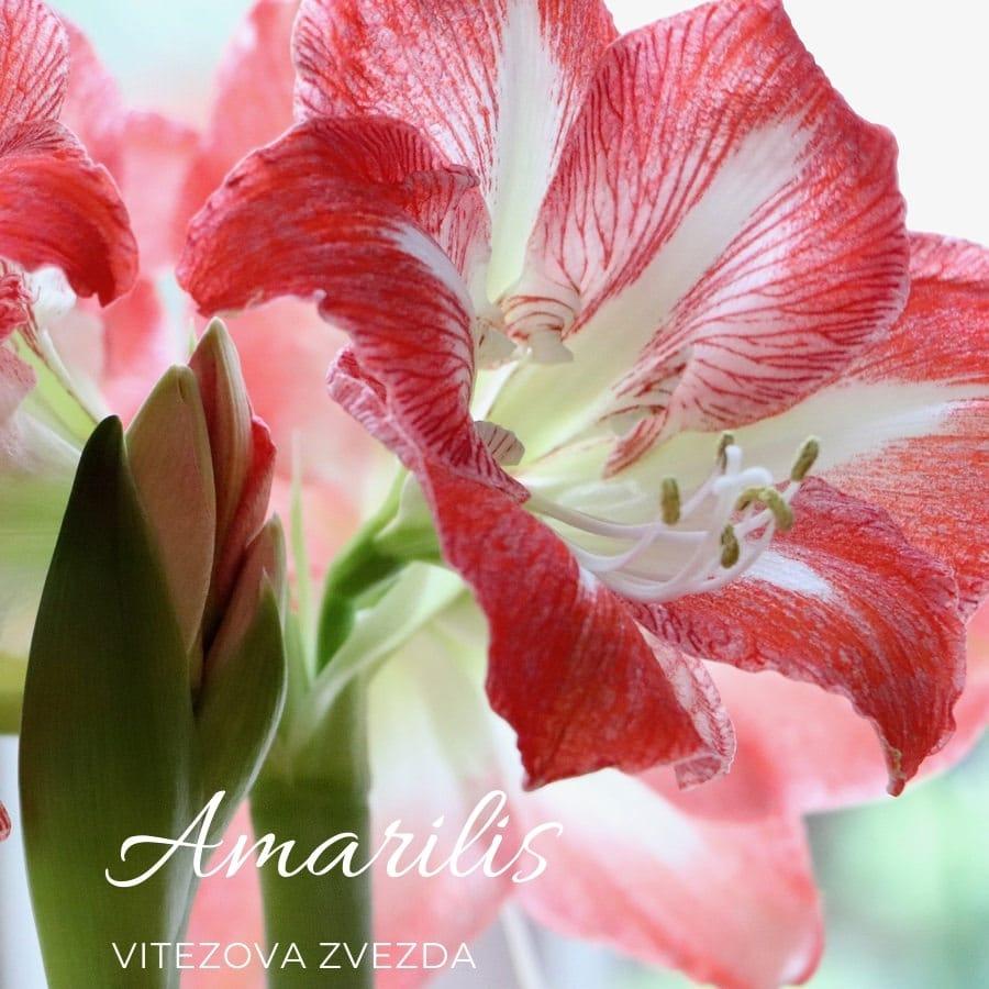 Amarilis-vitezova-zvezda