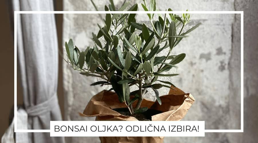 Bonsai-oljka