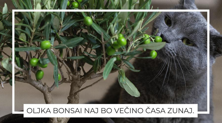 Oljka-bonsai-nega