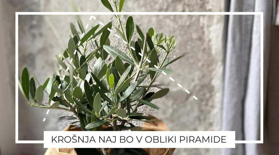 Oljka-bonsai-oblika