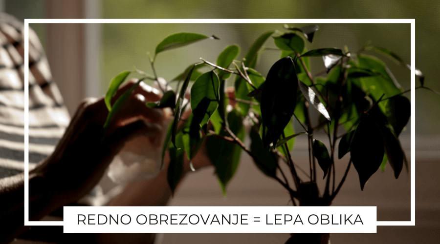 Oljka-bonsai-obrezovanje