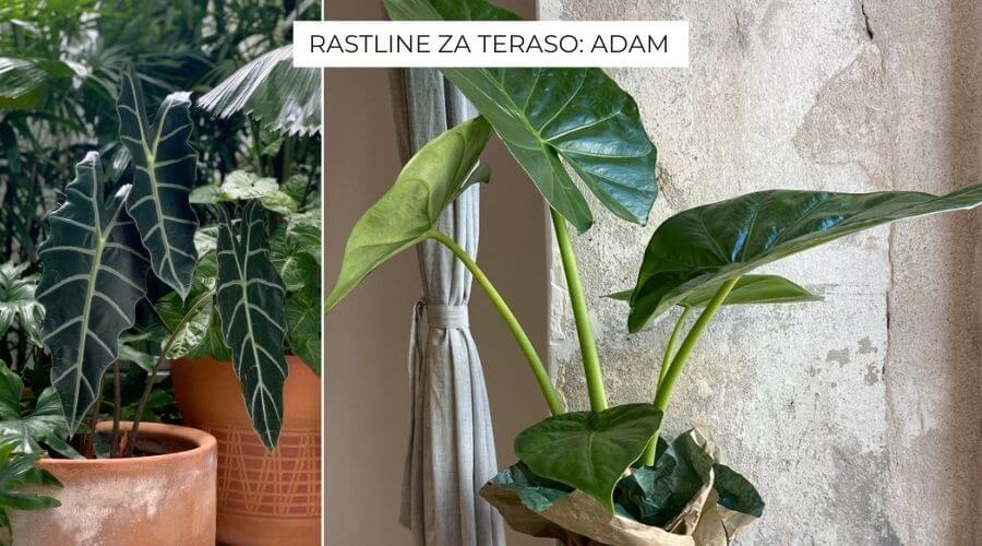 rastline-za-teraso-adam-v-loncu