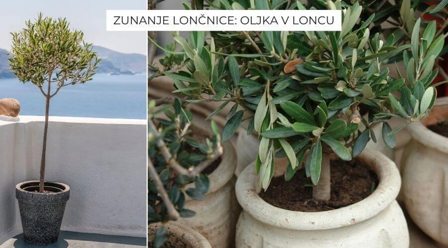 zunanje-loncnice-oljka-v-loncu