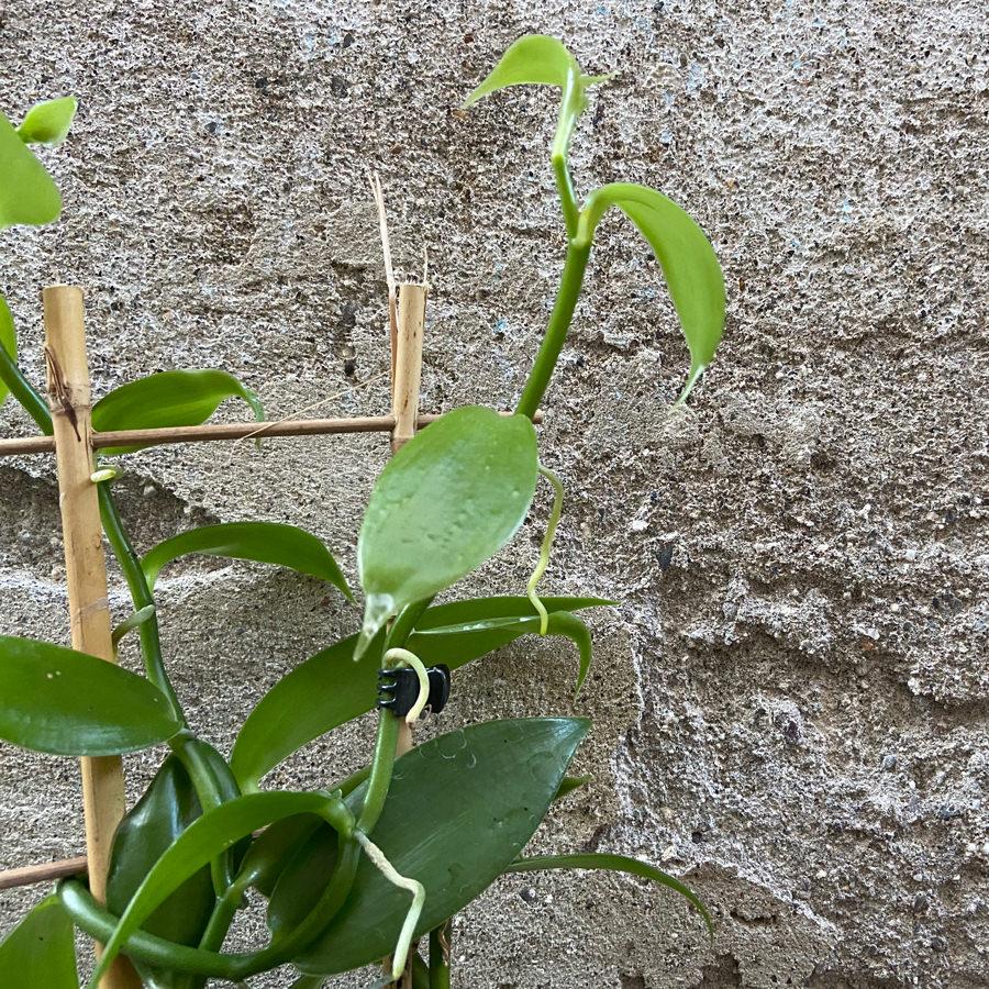 vanilia-rastlina-3