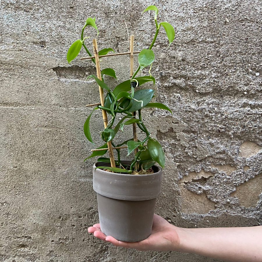 vanilia-rastlina