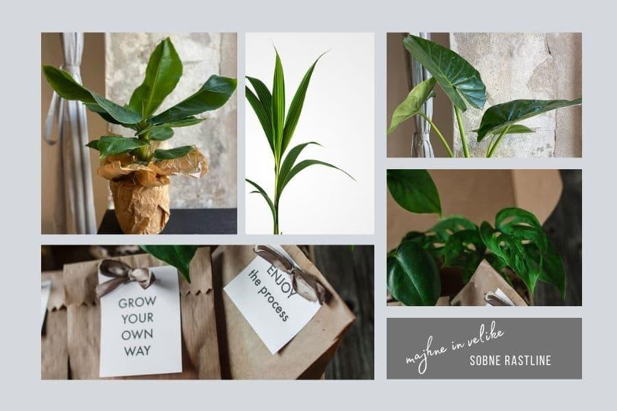 velike-sobne-rastline